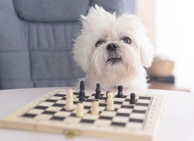 These are the most intelligent breeds of dog that have both brains and beauty (sadly, this chess-playing Maltese isn't one of them).