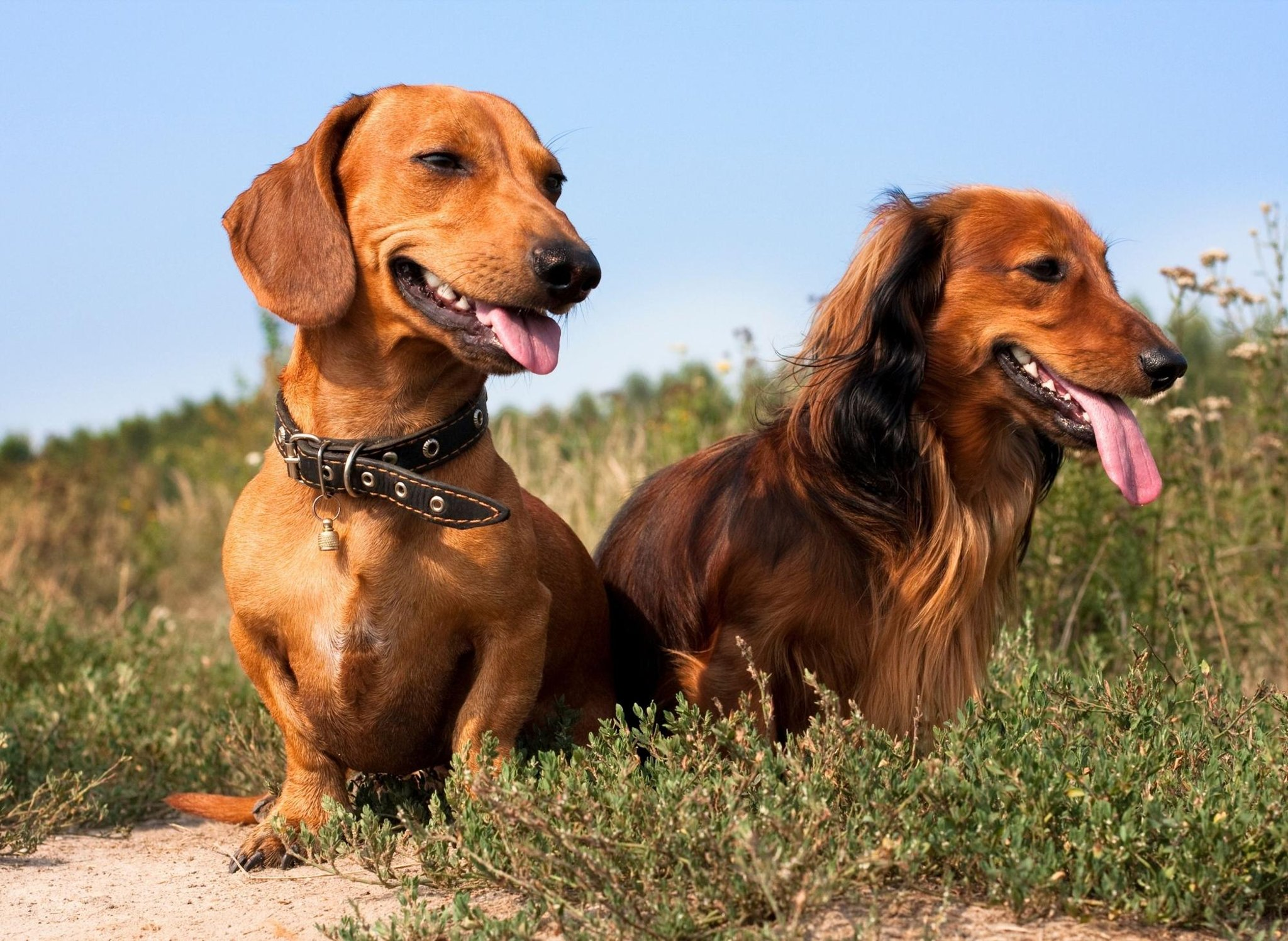 These are 10 fun and interesting dog facts about the adorable and cute Dachshund