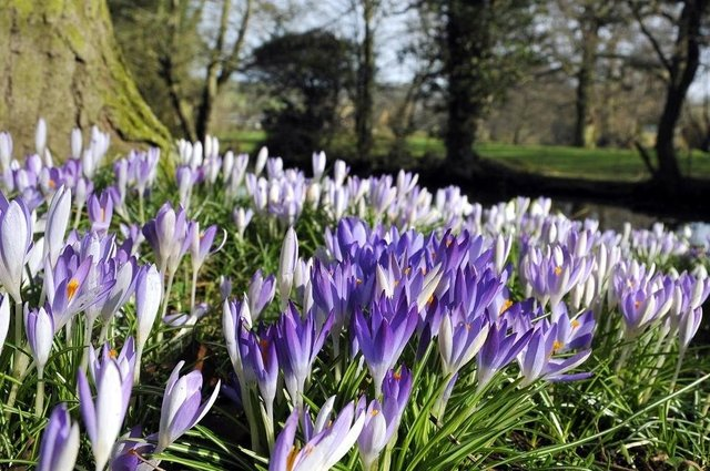 Beautiful spring crocuses.