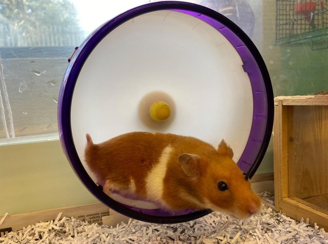 The hamster which was found in a bin in Abbeyview Park, West Dunfermline on 20 March.