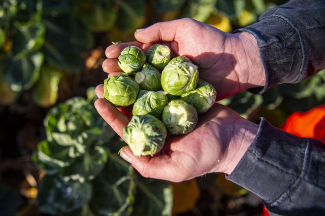 Freshly picked brussel sprouts.